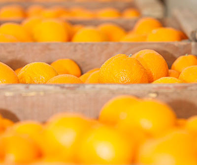 Placer Grown Satsuma Mandarins